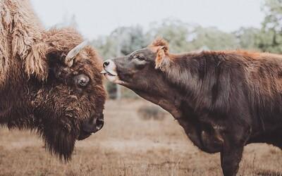 Slepá a osamelá samica bizóna, ktorú všetky zvieratá ignorovali, si našla býka. Ich rozkošné fotky sú hitom internetu