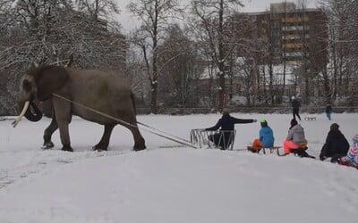 Slona z cirkusu vytiahli do snehu a prinútili ho ťahať sánky s deťmi. Úbohé zviera mohlo skončiť s vážnymi omrzlinami