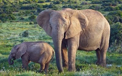 Sloni se začali evolučně přizpůsobovat pytláctví. Některým přestávají růst kly, není pak důvod je lovit