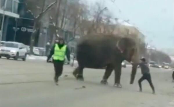 Sloni uprchli z cirkusu a procházeli se v ulicích města. Úplně zastavili dopravu, pomohla až policie