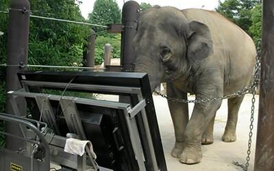 Slonica dokázala, že je schopná počítať. Jej úspešnosť bola 67 %