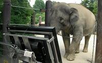Slonice dokázala, že umí počítat. Její úspěšnost byla 67procentní