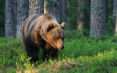 Slováci lezou až do medvědích doupat, aby si natočili mláďata a pochlubili se na Facebooku. Matka pak může mláďata opustit