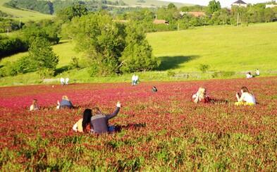 Slováci objavili ďatelinové pole na Záhorí. Majiteľovi ho začali ničiť pre instafotky