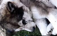 Slovák dobil susedovho psa tak brutálne, že prišiel o oko. Hrozia mu dva roky basy