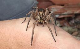 Slováka pohrýzol najjedovatejší pavúk v našej krajine, skončil na pohotovosti