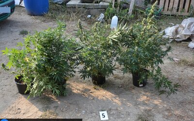 Slovákovi hrozí za pěstování marihuany 10 let za mřížemi. Bude se čekat, až vyschnou všechny zabavené rostliny