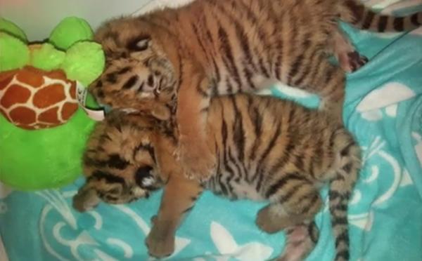 Slovenka vraj chcela zachrániť tigríčatá odsúdené na smrť, obvinili ju z pašeráctva a zaplatí pokutu. Zvieratá nakoniec uhynuli