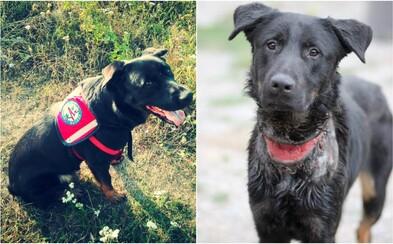 Slovenský psík Ramon, ktorého našli s podrezaným krkom, bude čoskoro sám zachraňovať ľudí