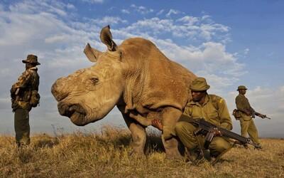 Smutná realita: Poslední žijící nosorožec svého druhu je tak vzácný, že musí být chráněn 24 hodin denně