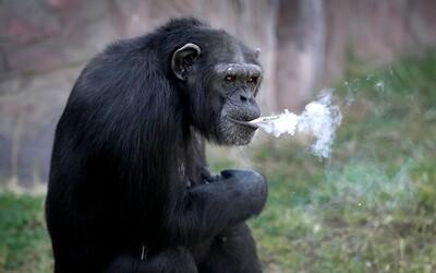 Smutná realita. Šimpanz zo severokórejskej zoologickej záhrady zabíja žiaľ fajčením desiatok cigariet denne