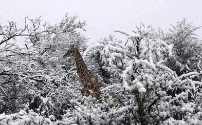 Sněhová nadílka překvapila exotická zvířata v Jihoafrické republice. Podívej se na kouzelné záběry