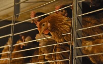 Sněmovna schválila zákaz klecového chovu slepic a drezůru volně žijících zvířat v cirkusech