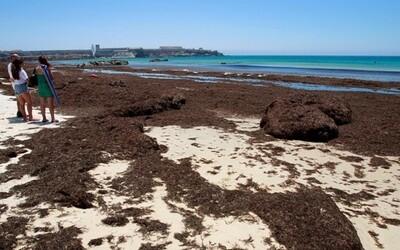 Španělské pláže zamořila řasa z Asie, která se jmenuje Okamura