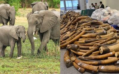 Spojené království chce skoncovat s pytláctvím. Zavede nejtvrdší zákaz obchodování se slonovinou na světě