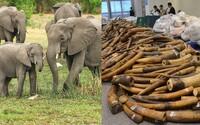Spojené kráľovstvo chce ukončiť pytliactvo slonov! Najtvrdší zákaz obchodovania so slonovinou na svete proti nej urobí rázne kroky