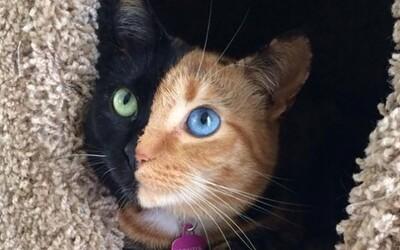 Spoznaj Venus, mačku dvoch tvárí