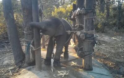 Srdcervúce video zachytáva sloníča uväznené v reťaziach. Takto ho krotia, aby mohlo tešiť turistov