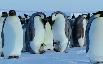 Štáb BBC porušil nejdůležitější pravidlo. Malinké tučňáky zachránil před jistou smrtí