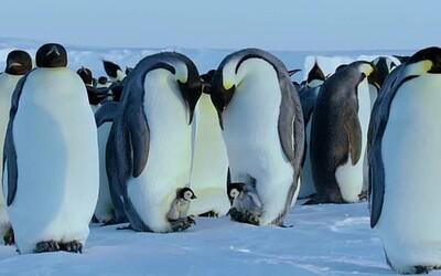 Štáb BBC porušil najdôležitejšie pravidlo. Maličké tučniaky zachránil pred istou smrťou