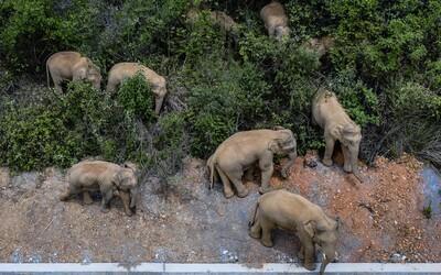 Stádo slonov, ktoré ušlo z čínskej rezervácie, za sebou necháva hotovú spúšť