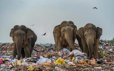Stádo slonov sa musí brodiť skládkou odpadkov, ktorá im zabrala životný priestor. Smutné fotky podčiarkuje aj viacero úmrtí