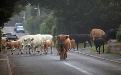 Stádo splašených kráv terorizovalo obyvateľov anglického Suffolku