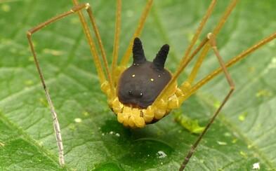 Strašidelne vyzerajúceho pavúkovca s telom pripomínajúcim psa z Harryho Pottera by si naživo zrejme stretnúť nechcel