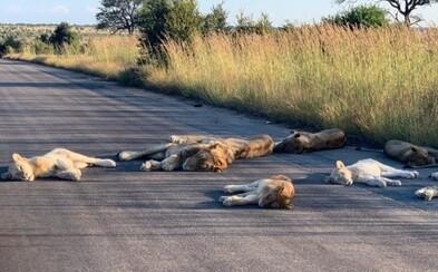 Strážnik odfotil skupinku levov opaľujúcich sa na ceste. Z juhoafrického národného parku kvôli koronavírusu zmizli turisti