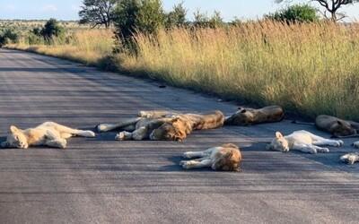 Strážník vyfotil skupinku lvů opalujících se na silnici. Z jihoafrického národního parku kvůli koronaviru zmizeli turisté