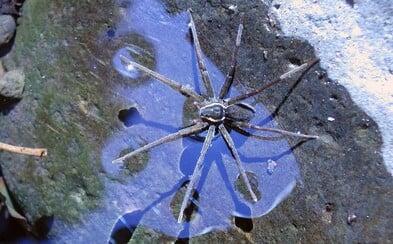 Surfujúci pavúk Brian je ďalším dôvodom, prečo zvážiť návštevu Austrálie. Nevadí mu voda a korisť loví bleskovo