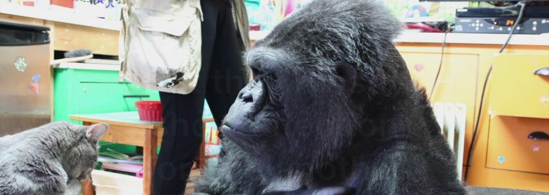 Svetoznáma gorila Koko zomrela vo veku 46 rokov. Skamarátil sa s ňou aj Robin Williams a komunikovala pomocou znakovej reči
