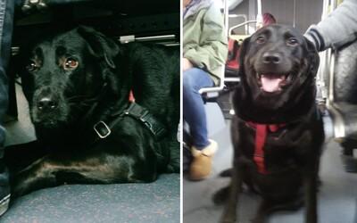 Tento pes dokáže nasadnúť na autobus, vyvenčiť sa a vrátiť sa úplne sám. Labradorka Eclipse je hitom Facebooku