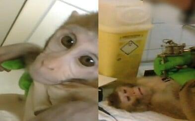 Tetujú, napichajú drogami a zabijú. Uniknuté zábery zo zvieracej testovacej kliniky zachytávajú opice v hrozivých momentoch