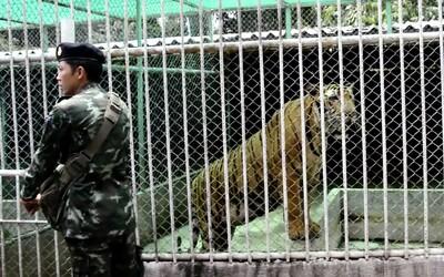 Thajská vláda zachránila tigre z turistickej atrakcie. Desiatky z nich následne uhynuli