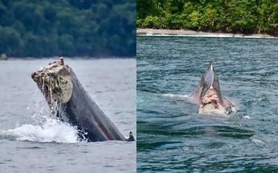 Tichým oceánom pláva veľryba bez chvosta. Môžu za jej utrpenie rybári?