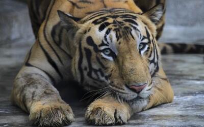 Tiger prešiel počas deviatich mesiacov 3 000 km. Hľadal si nové teritórium