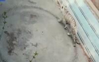 Tiger sa bezcieľne prechádza do kruhu v maličkom výbehu. Smutné video z čínskej zoo dojíma ľudí