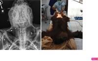 Tínedžeri 74-krát postrelili orangutana a oslepili ho. Za trest musia recitovať modlitby a upratať mešitu
