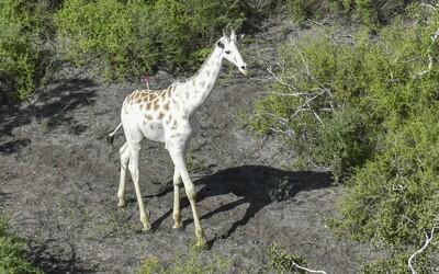 Toto je jediná bílá žirafa na světě. GPS by mělo zajistit, že se jí vyhnou pytláci