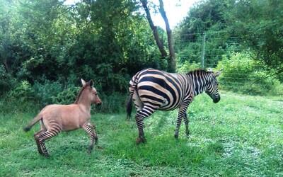 Toto je malý zonkey. Kříženec zebry a osla se narodil v Keni