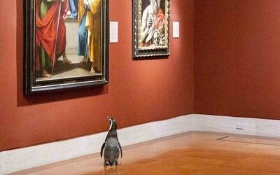 Tučňáci si užívají koronakrizi opravdu naplno. Nejdříve byli na procházce po zoo, nyní se vybrali do galerie