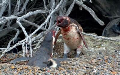 Tučniak našiel po návrate domov manželku s iným samcom. Nasledovala krvavá bitka ako z ozajstného bojového filmu