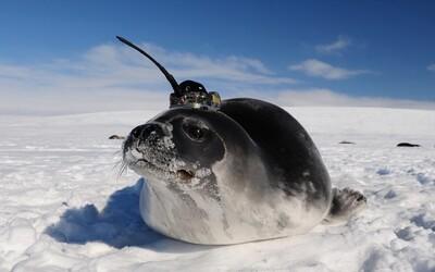 Tuleni s anténami na hlavách prozkoumali díru v antarktickém ledu velkou jako 10 Českých republik
