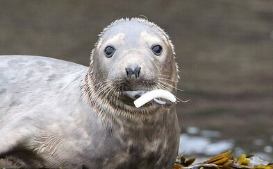 Tulenie mláďa je na pokraji smrti, v pere sa mu zasekol rybársky háčik. Bezohľadnosť ľudí končí smrťou zvierat