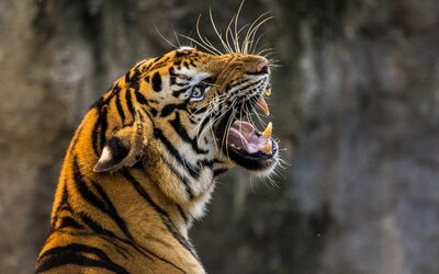 Tygr ukousl ženě ruku: Zranění byla devastující, lékař se soustředí na záchranu zbytku končetiny