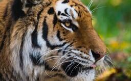 U tygra potvrdili koronavirus, nakazil ho zřejmě pracovník zoo