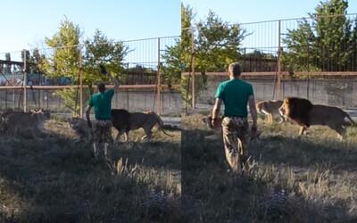 Ukrajinec rozohnal útočiacich levov obyčajnou papučou. Kritici však poukazujú na týranie, ktorého známky zvieratá vykazujú