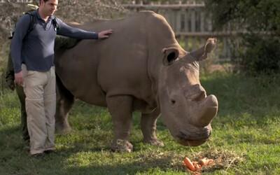Umírá český samec bílého nosorožce, který je posledním na světě. Sudána už zřejmě nečeká zlepšení