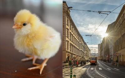 Uprostřed silnice na Žižkově pobíhal zdrogovaný muž, který předstíral, že je kuře. Hlídce prozradil, že ve tmě je dinosaurem
